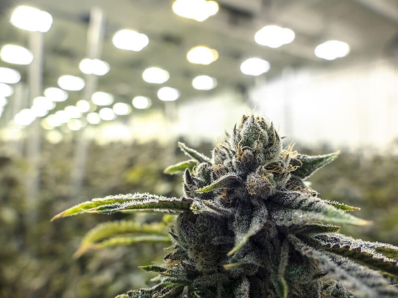 The Difference Between Medical and Recreational Cannabis