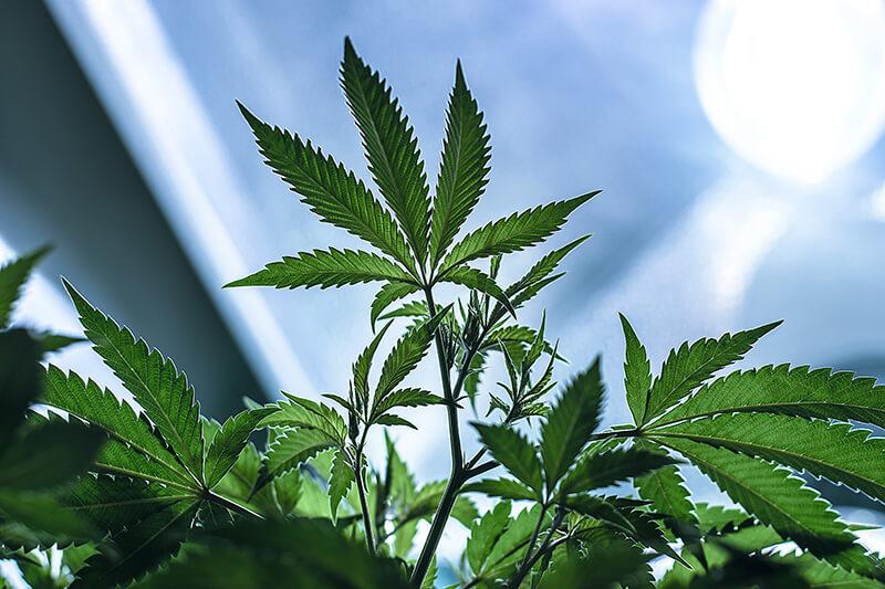 cannabis strains for creativity - Ak-47