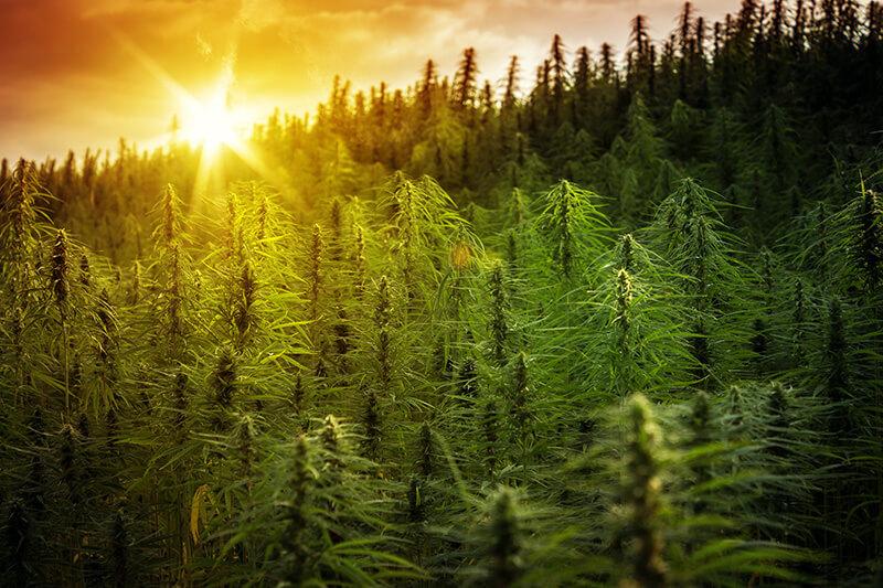 cannabis strains for creativity