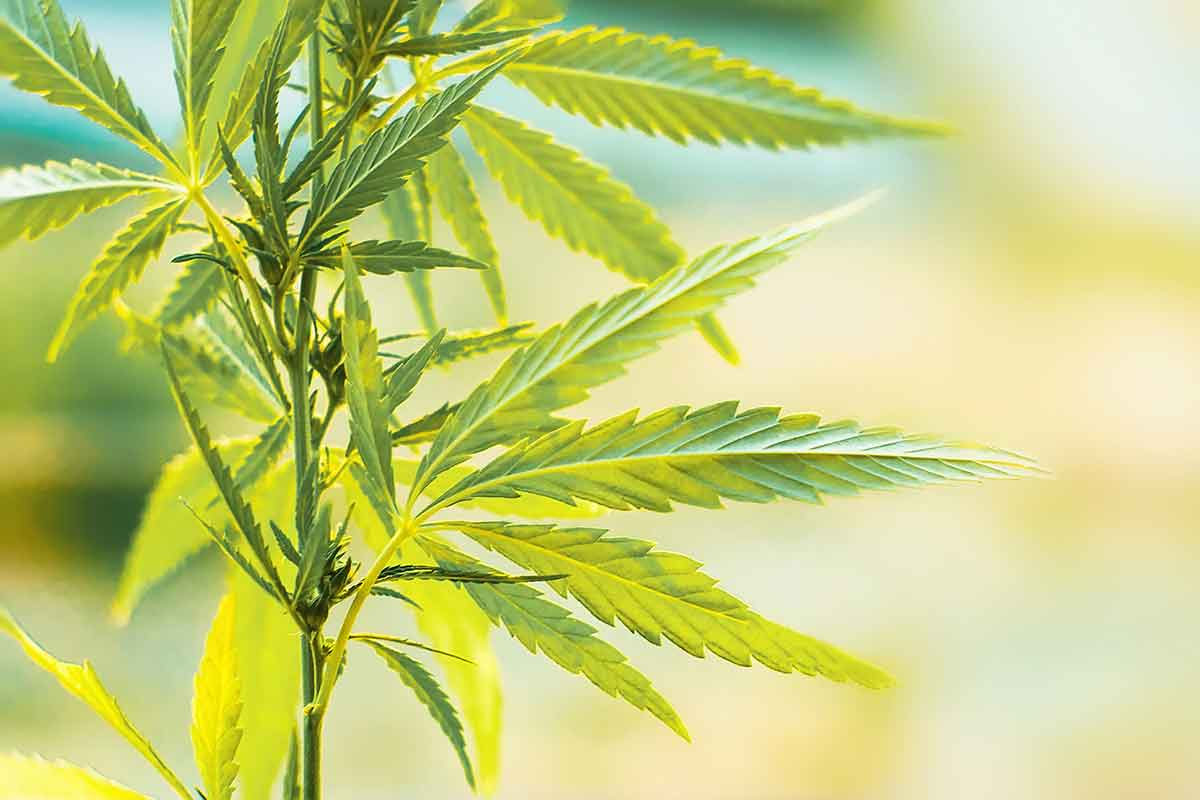 cannabis for detoxing